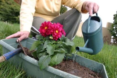 Vann godt før du reiser, og ikke plant nytt rett før du skal reise - nyplantede vekster krever ekstra tett oppfølging. Foto: colourbox.com