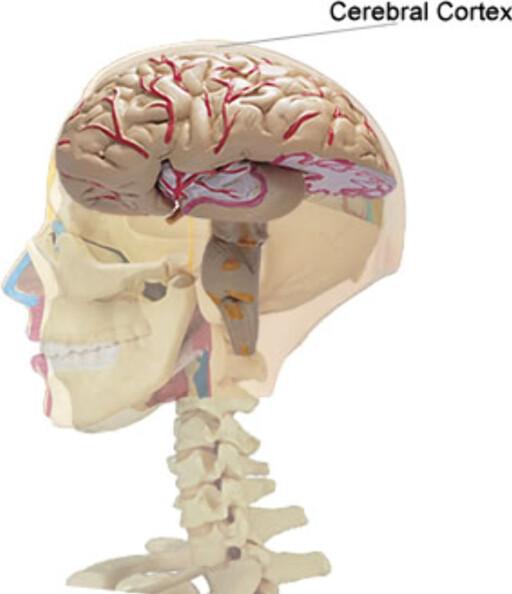 Hjernebarken er det ytre laget av storehjernen. Foto: Wikipedia