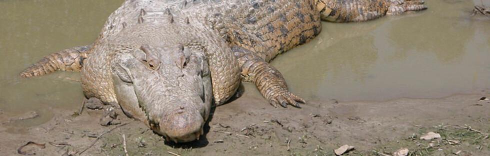 Saltvannskrokodiller har blitt et problem i det nordlige Australia. Foto: St. Augustine Alligator Farm