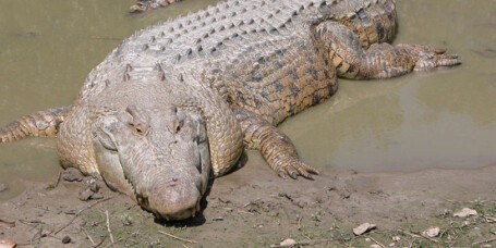 Vil la turister dra på krokodillejakt