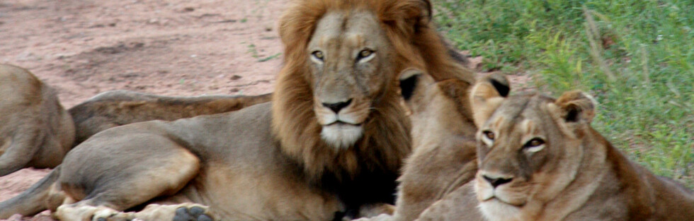 Løvene regjerer i bushen, og viser ingen tegn til nervøsitet. Foto: Stine Okkelmo