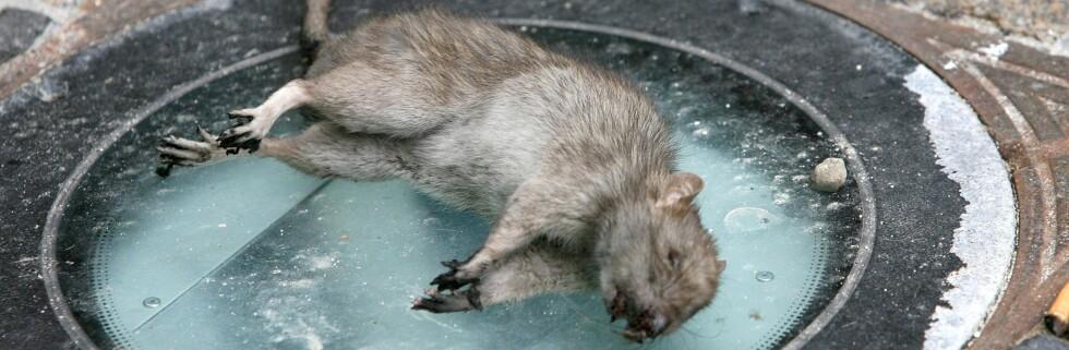 Rett i fella med denne rotta. Foto: Colourbox