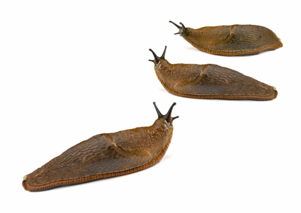 Den brune sneglen er fryktet og forhatt av mange hageeiere.  Foto: iStockphoto