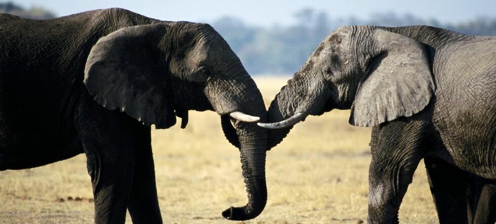En opphisset elefant fikk en mann på bryllupsreise i Afrika til å føle seg utilstrekkelig - så han bad om kompensasjon. Illustrasjonsfoto: Colourbox