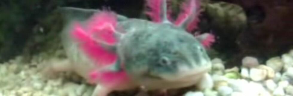 Axolotlen ser ut som en blanding av et monster og Kermit i The Muppet Show. Foto: fra YouTube