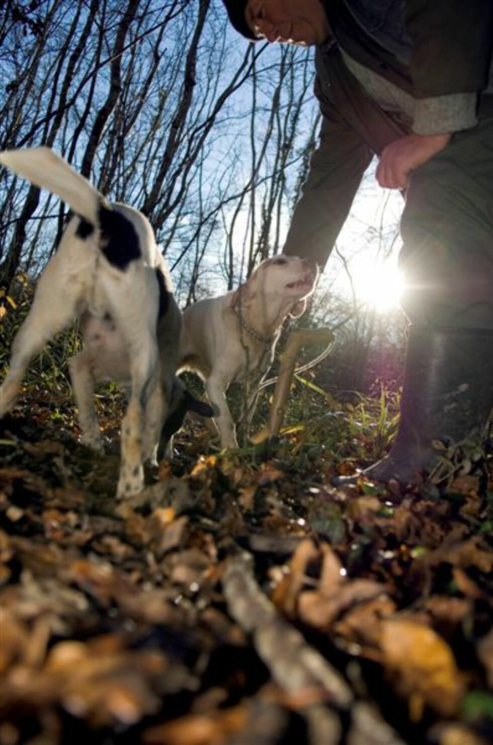 Hundene får ikke mat dagen før de skal på trøffeljakt. Slik blir hundene enda mer ivrig på å finne den dyrebare soppen. Foto: Istrian Tourist Board