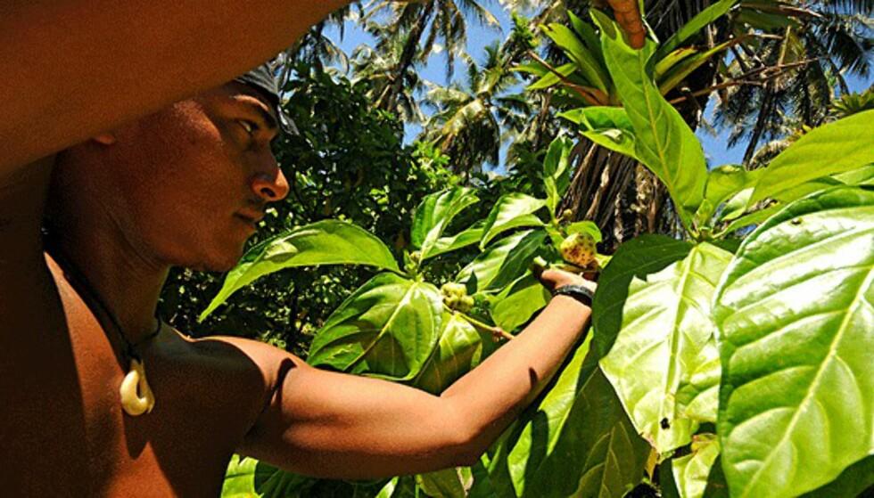 José viser frem det lokale potensmiddelet. Mye av medisineringen i regionen rundt Bocas foregår fortsatt av såkalte medisinmenn, i hvert fall blant de infødte.  Foto: Hans Kristian Krogh-Hanssen