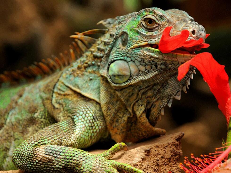 En iguana koser seg med blader. Disse fargerike dyrene er en utbredt fattigmannskost på landsbygda i Panama. Smaker som kylling sies det... Foto: Hans Kristian Krogh-Hanssen