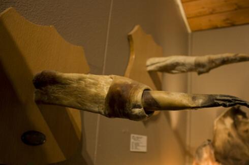 Hvalens penis utstilt på Fallosmuseet. Foto: Wikipedia