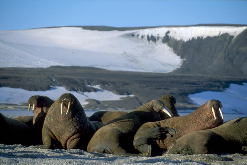En av hovedgrunnene til å dra til Svalbard, er å oppleve det unike dyrelivet, her representert av hvalrossen. Foto: Kristina Lind/Innovasjon Norge