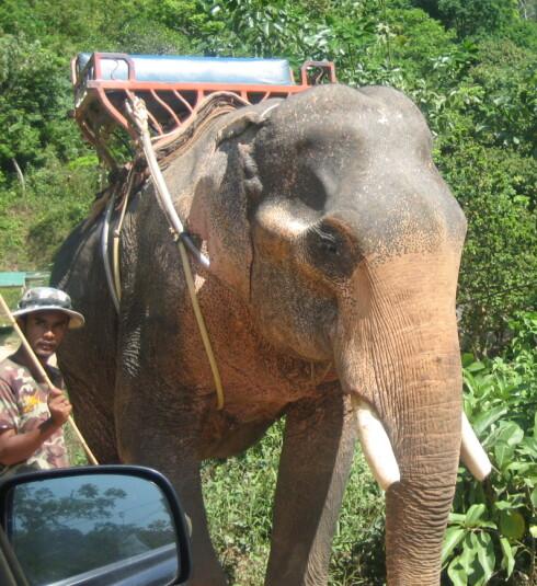 I Thailand blir eleganter ofte brukt til guideturer med turister. Er det dyreplageri eller en viktig del av turistnæringen? Foto: Astrid Mannion