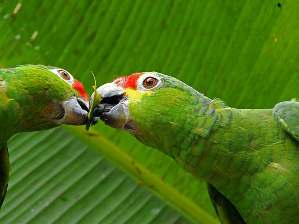 To papegøyer deler en matbit utenfor San Carlos. Et par av typen Red-lored Parrots er trofaste hele livet gjennom og kan ofte sees kjælende med hverandre på en kvist.    Foto: Hans Kristian Krogh-Hanssen