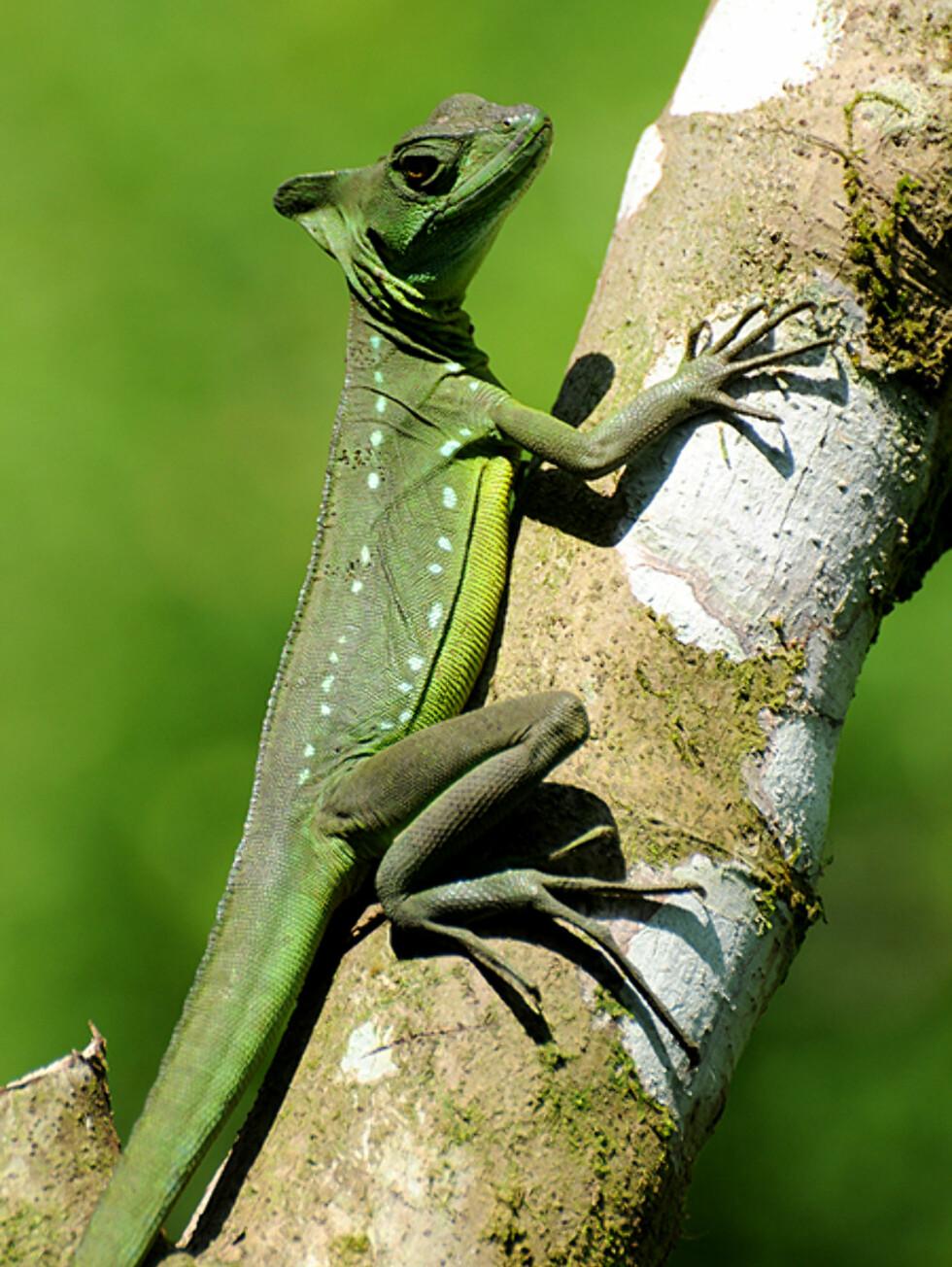 En av mange typer gekkoer du finner i Costa Rica klatrer på en stamme i naturreservatet Monteverde.  Foto: Hans Kristian Krogh-Hanssen