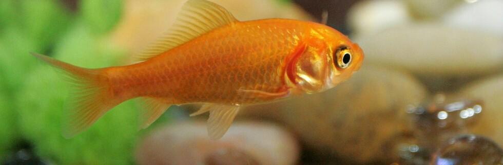 Husker du bedre enn gullfisken? Foto: colourbox.com