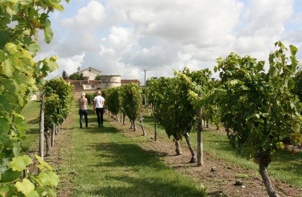 I begynnelsen av oktober begynner innhøstingen av druer til konjakken. Foto: Astrid Mannion