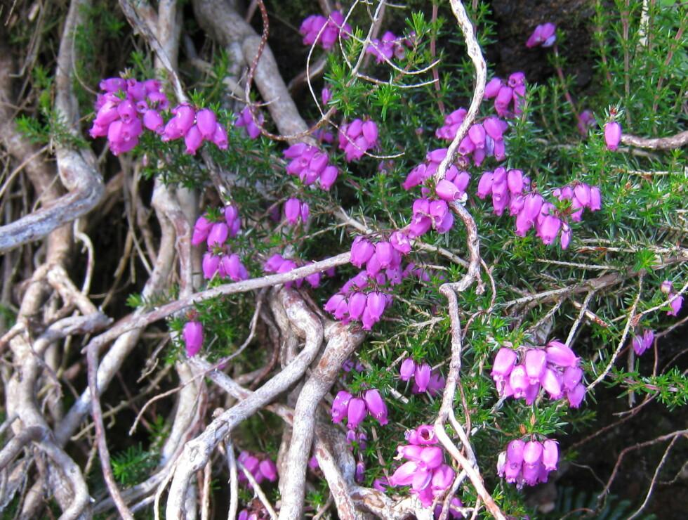 Denne planten kjenner du vel igjen fra Norge? Det er røsslyng. Foto: Stine Okkelmo