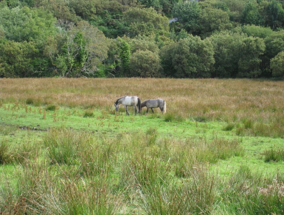 Connemaraponniene er en egen hesterase. De vandrer rundt i nasjonalparken og beiter. Disse to tilhører besøkssenteret. Foto: Stine Okkelmo