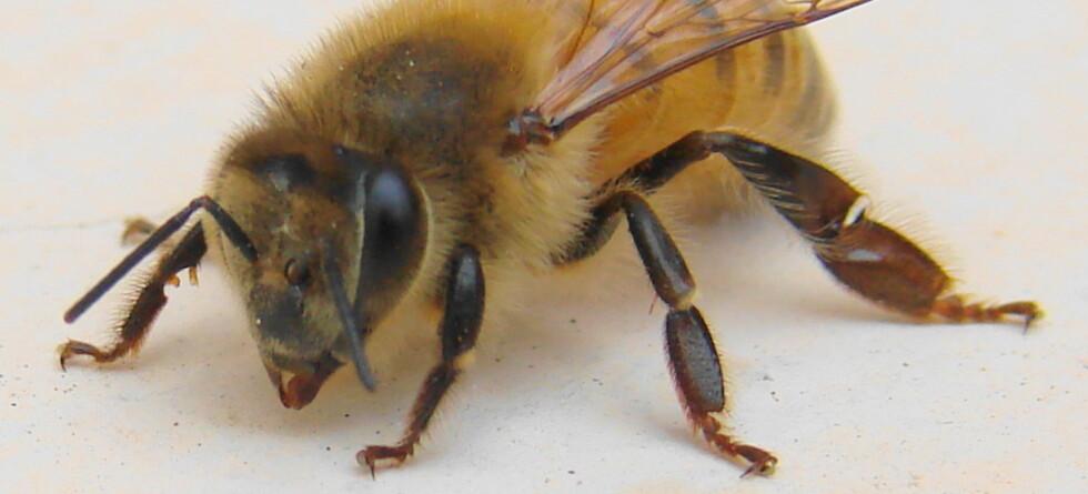 Det viser seg at biene kan mer enn å produsere honning. Illustrasjonsfoto: Luiz Pinheiro/StockXpert