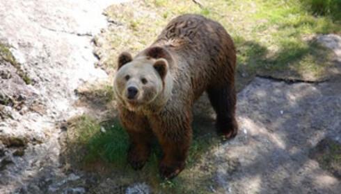 Bjørnen Frigg har to binner som går sammen med han i bjørneparken annethvert år. Foto: Vassfaret Bjørnepark