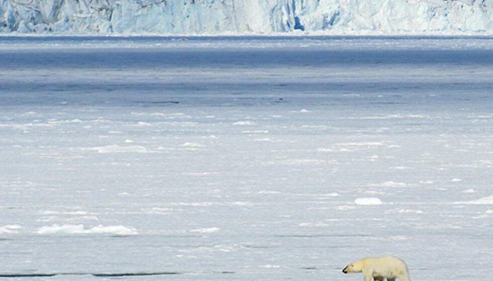 Vi fikk omsider sett åtte isbjørner på vår cruise på Svalbard. Se flere bilder av bjørnene i bildespesialen.   Foto: Hans Kristian Krogh-Hanssen