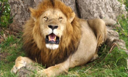 Vil du ha nærkontakt med en sånn? Drar du til Kenya får du dét og litt attåt. Foto: wikipedia.org