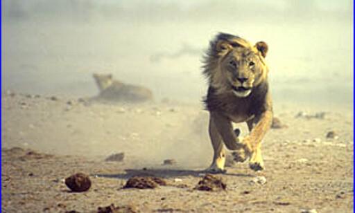 Det er nok av dyr å jakte på, på Etoshas saltsletter. Foto: namibian.org