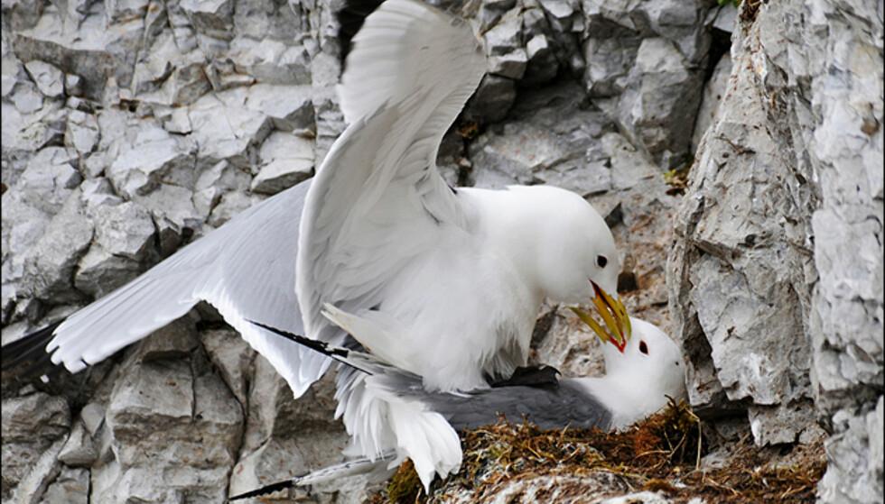 Å fange naturen i øyeblikk som kan fortelle noe menneskelig, gir gode bilder. Her to måker som parrer seg. Foto: Hans Kristian Krogh-Hanssen