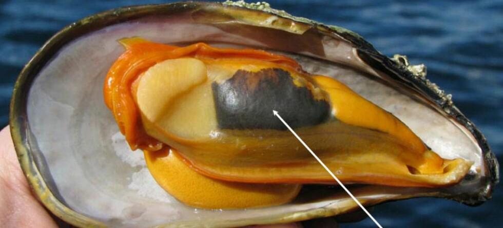 Av hensyn til mattryggheten, anbefaler Mattilsynet å ta ut nyren fra o-skjell. Foto: NIFES Foto: Foto: NIFES