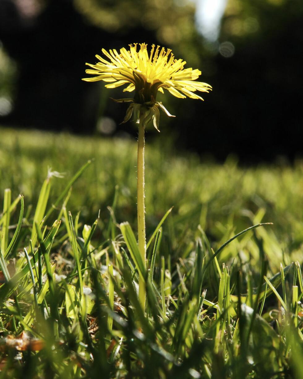 Tidenes mest forhatte blomst? Nå kan du putte den i salatbollen. Illustrasjonsfoto: colourbox.com Foto: Foto: colourbox.com