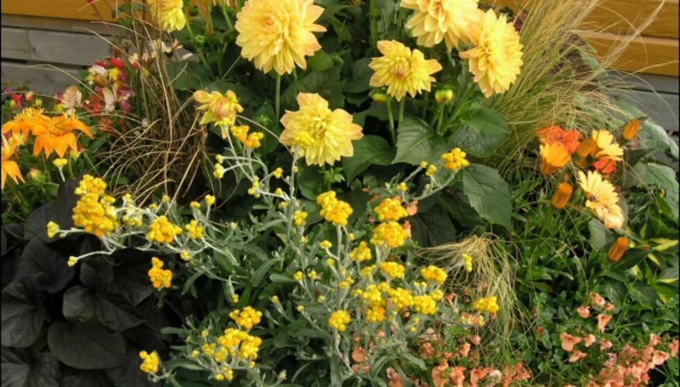 I denne krukken er det Georginer, Gazania, Helichrysum, Diascia og prydgress. Foto: Opplysningskontoret for Blomster og Planter Foto: Opplysningskontoret for Blomster og Planter