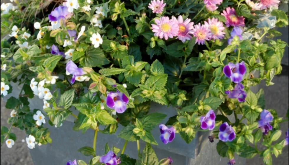 Her er fargede margeritter plantet sammen med prydgress. Bacoba, Torenia, Superpetunia og Helichrysum henger ned langs kanten for å gi fylde.  Foto: Opplysningskontoret for Blomster og Planter Foto: Opplysningskontoret for Blomster og Planter