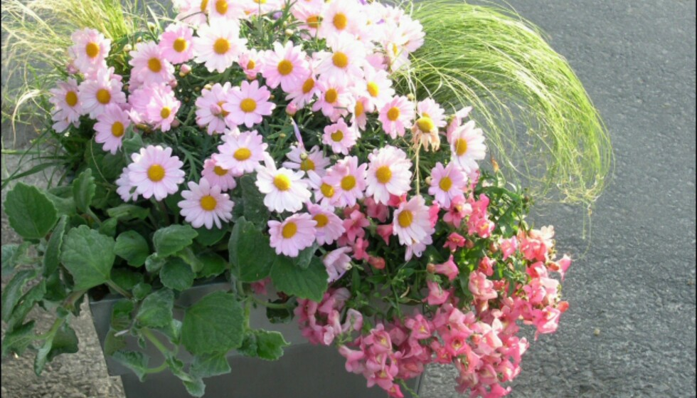 Denne krukken med fargete margeritter, Diascia, prydgress og Helichrysum passer fint på en solrik uteplass. Foto: Opplysningskontoret for Blomster og Planter Foto: Opplysningskontoret for Blomster og Planter