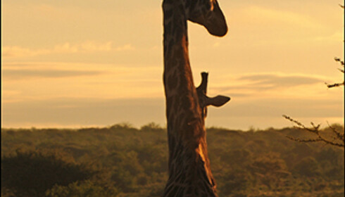 Kenyas restriktive og godt voktede viltlover har ført til verdens beste safariområder.