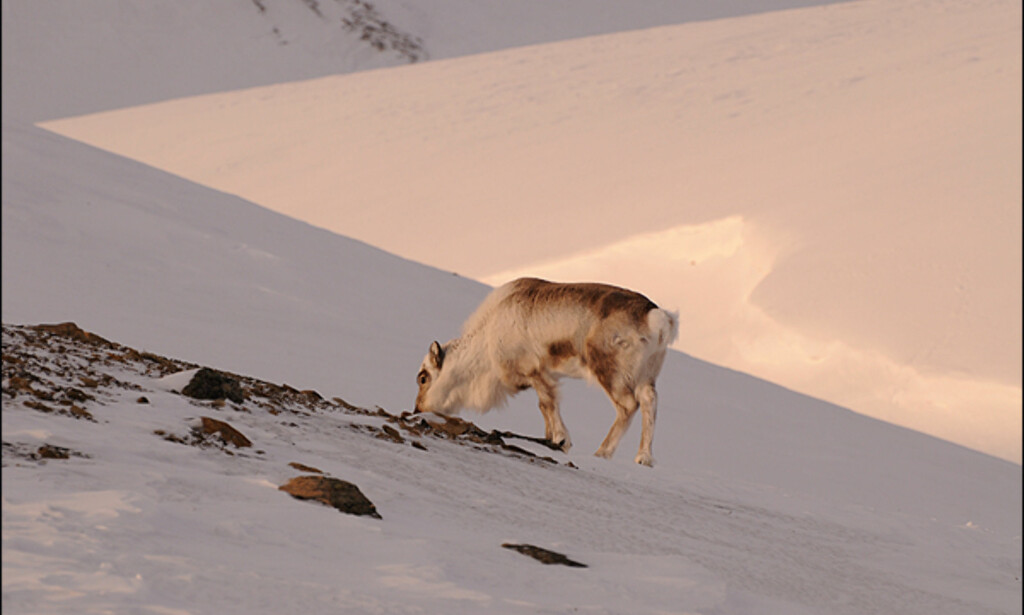Urørt, men sårbar natur er Svalbards store attraksjon for turister.