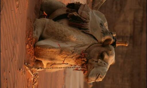 Ikke elg i solnedgang, men kamel i soloppgang.