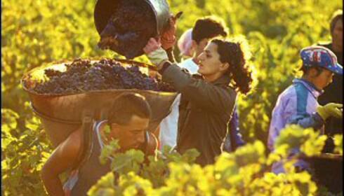 Druene i Provence plukkes fortsatt for hånd. Foto: W. James