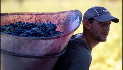 Vinhøsten i Provence er hardt slit, men også en stor fest! Foto: W. James