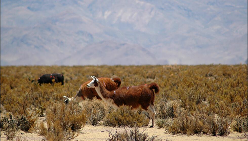 Lamaer er fast inventar oppe på høyslettene.