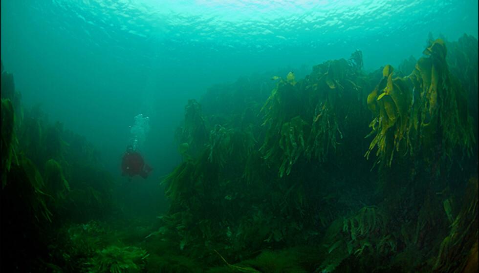 Tareskog utenfor Litj-Færøya på Myken. Bildet vant NM-tittel i klassen vidvinkel med dykker. Foto: Christian Skauge, dykkefoto.no