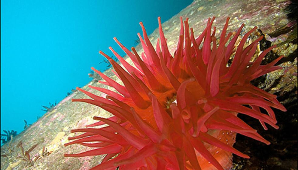 Anemoner har farger vi ikke ofte ser andre steder i naturen. Foto: Christian Skauge, dykkefoto.no