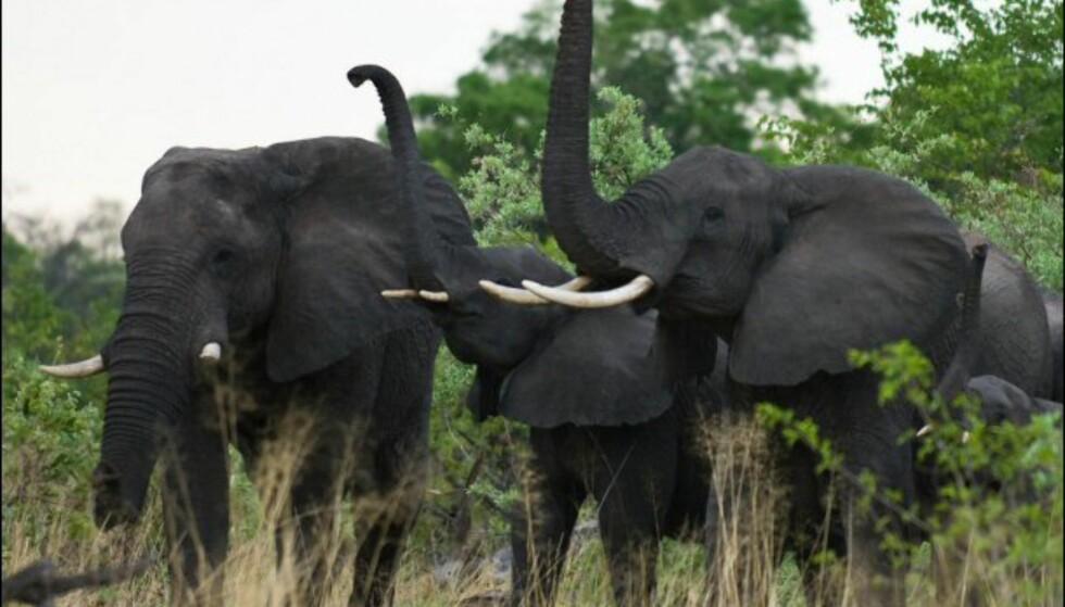Botswana er et eldorado for naturelskere. Her er landskapet veldig vakkert, og dyremangfoldet stort.  Her  noen flotte eksemplarer av den afrikanske elefanten.   Foto: Sverre Brubæk Foto: Sverre brubæk