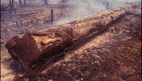 VIKTIG INDUSTRI: Amazonas med sin veldige artsrikdom avskoges nå og mange steder er skogen gått fra å være regnskog til ørken. Foto: iStock.com