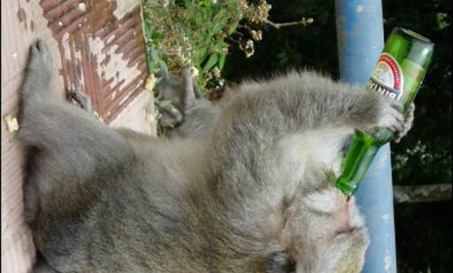 Tørst apekatt. Foto: Vidar Brotnov