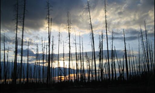 Utbrente trestammer etter Yellowstonebrannene.