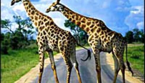 Vakre dyr i et farlig land. Foto: South African Tourism