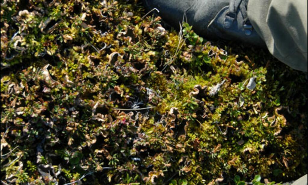 Tykk og myk lyng, men under hersker permafrosten. Foto: Lars Brubæk