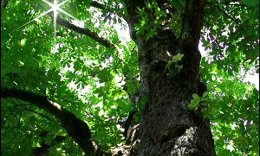 Dette treet var Anne Franks store trøst de to årene hun levde i gjemsel i Amsterdam. Foto: Anne Frank Boom