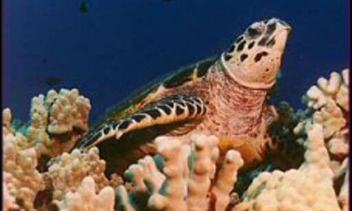 Havskilpaddene har eksistert siden dinosaurene levde. Foto: Save the sea turtles