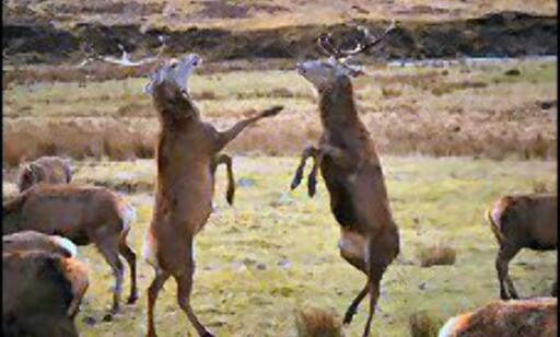 Alladale Wilderness Lodge er omringet av vakker natur - og masse hjort. Hvis ulv, bjørn og gaupe kommer, kan livet deres bli ganske mye mer spennende.  Foto: Alladale Wilderness Lodge