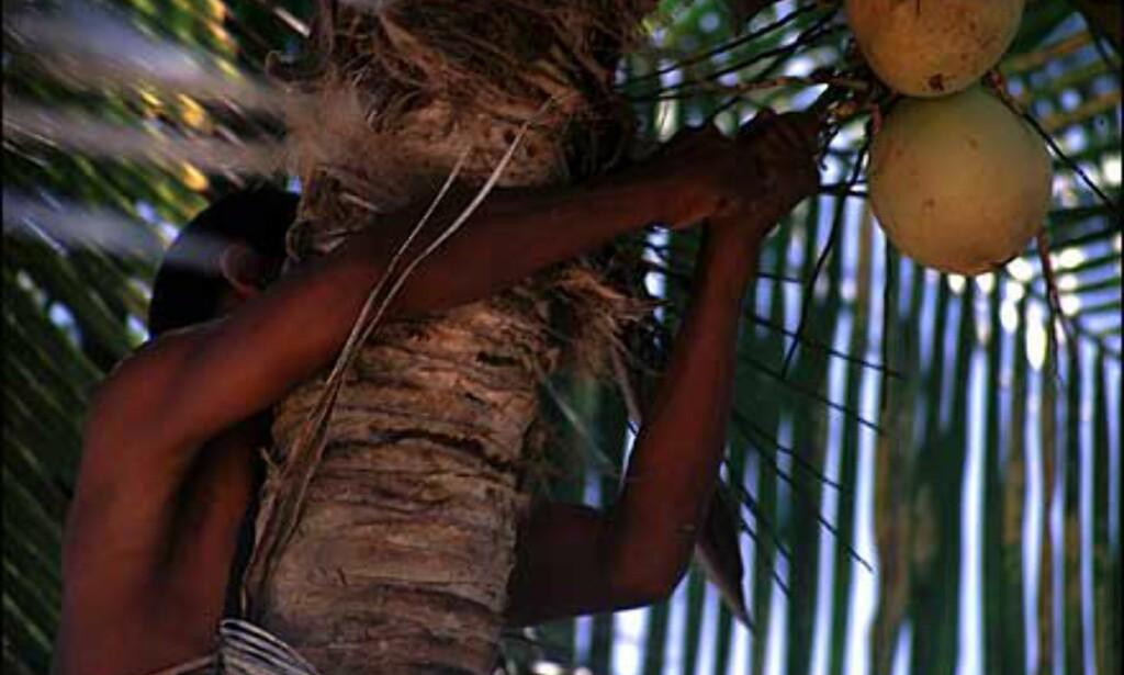 Kokosnøttene henger klare til plukking, men det krever noen års trening før man kan klatre opp den nakne stammen og hente dem ned.  Foto: Stian Mong